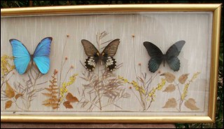 Vintage Framed Collection of 6 Butterflies