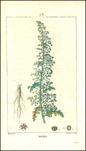 1815 P Turpin Silver Birch Mugwort Botanical Hand Colored Engraving
