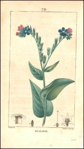 1815 P Turpin Borage Bugloss Hand Colored Engraving