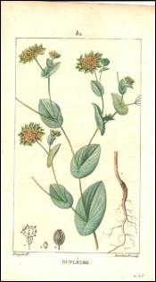 1815 P Turpin Bupleurum Hand Colored Engraving