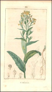 1815 P Turpin Camelina Sativa Hand Colored Engraving