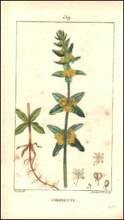 1815 P Turpin Crosswort Cruciata Laevipes  Hand Colored Engraving