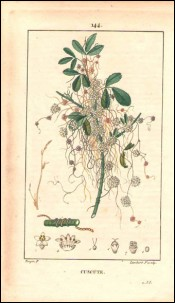 1815 P Turpin Cuscuta Dodder Hand Colored Engraving