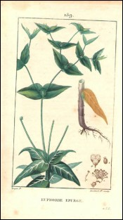 1815 P Turpin Euphorbe Spurge Stem Root Hand Colored Engraving