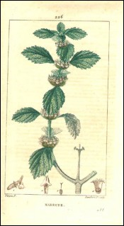 1815 P Turpin White Horehound Marrubium Vulgare Hand Colored Engraving